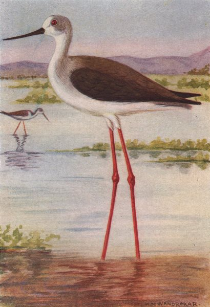 Associate Product INDIAN BIRDS. The Black-winged Stilt 1943 old vintage print picture