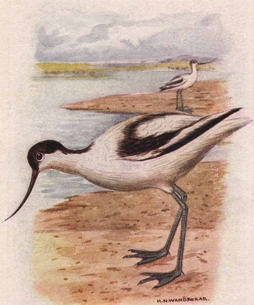 Associate Product INDIAN BIRDS. The Avocet 1943 old vintage print picture