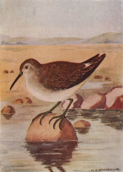 Associate Product INDIAN BIRDS. The Wood or Spootted Sandpiper 1943 old vintage print picture