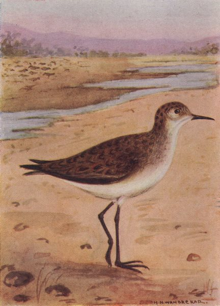 Associate Product INDIAN BIRDS. The Little Stint 1943 old vintage print picture