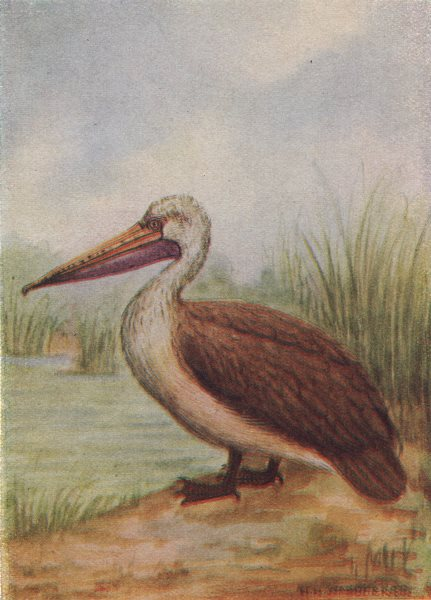Associate Product INDIAN BIRDS. The Spotted-billed Pelican 1943 old vintage print picture