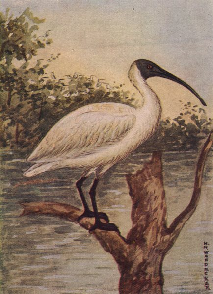 Associate Product INDIAN BIRDS. The White Ibis 1943 old vintage print picture