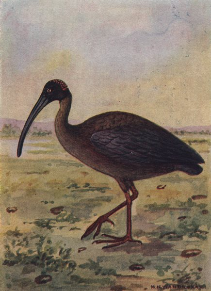 INDIAN BIRDS. The Black Ibis 1943 old vintage print picture