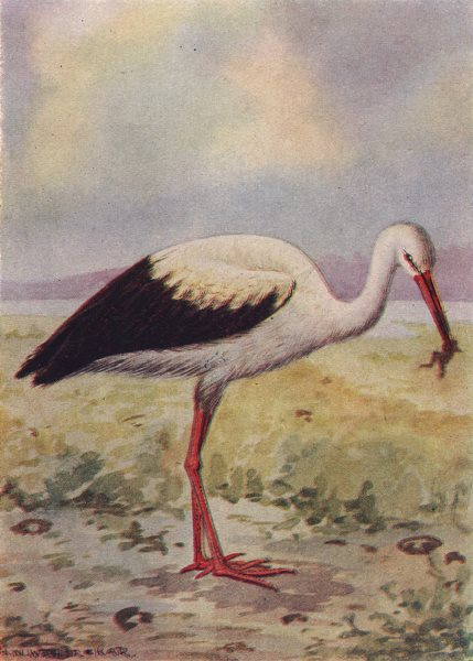 Associate Product INDIAN BIRDS. The White Stork 1943 old vintage print picture