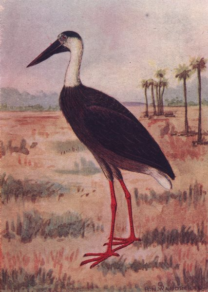 Associate Product INDIAN BIRDS. The White-Necked Stork 1943 old vintage print picture