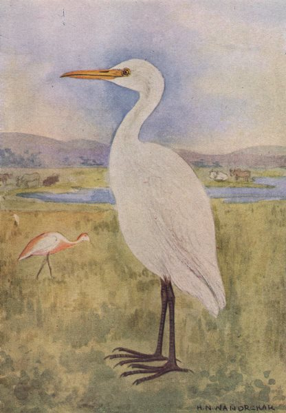 Associate Product INDIAN BIRDS. The Cattle Egret 1943 old vintage print picture
