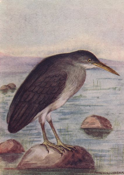 Associate Product INDIAN BIRDS. The Indian Reef Heron 1943 old vintage print picture