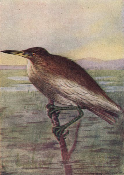 Associate Product INDIAN BIRDS. The Indian Pond Heron or Paddy Bird 1943 old vintage print