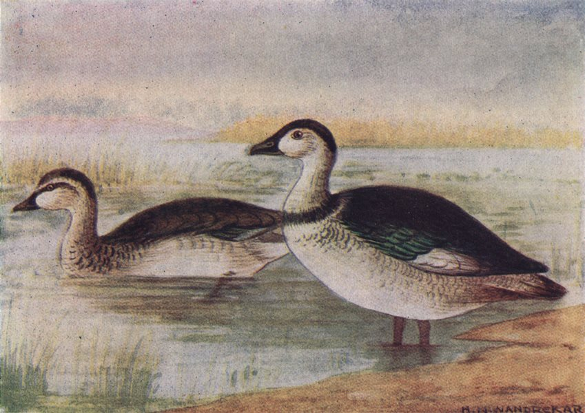 Associate Product INDIAN BIRDS. The Cotton Teal 1943 old vintage print picture