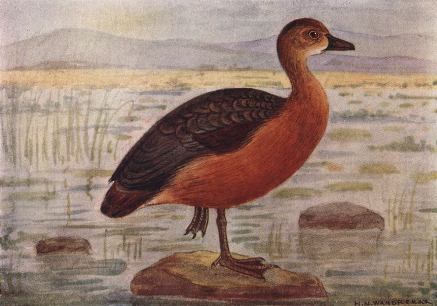 INDIAN BIRDS. The Common or Lesser Whistling Teal 1943 old vintage print