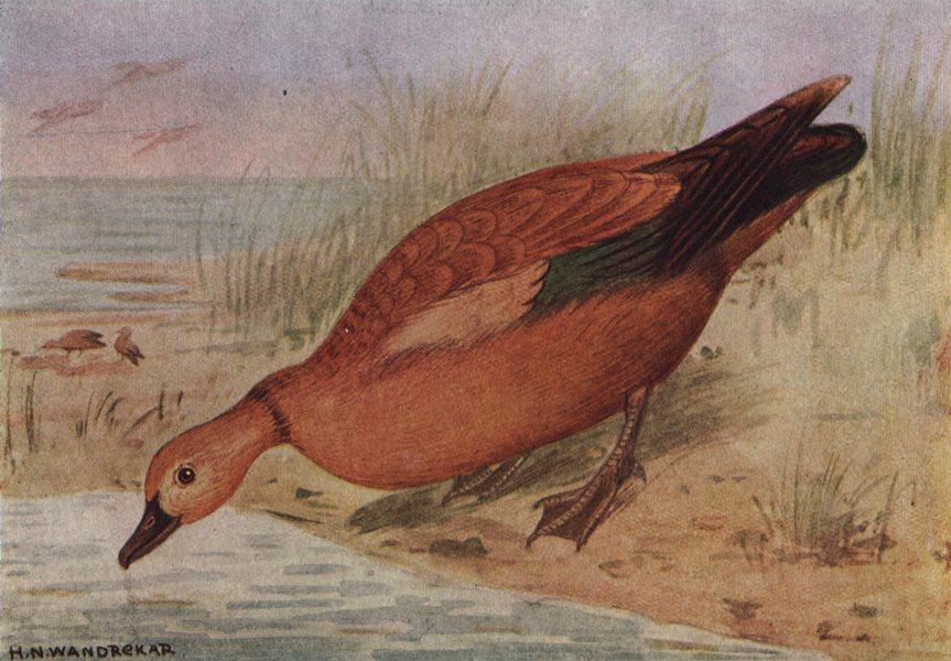 Associate Product INDIAN BIRDS. The Ruddy Sheldrake or Brahminy Duck 1943 old vintage print
