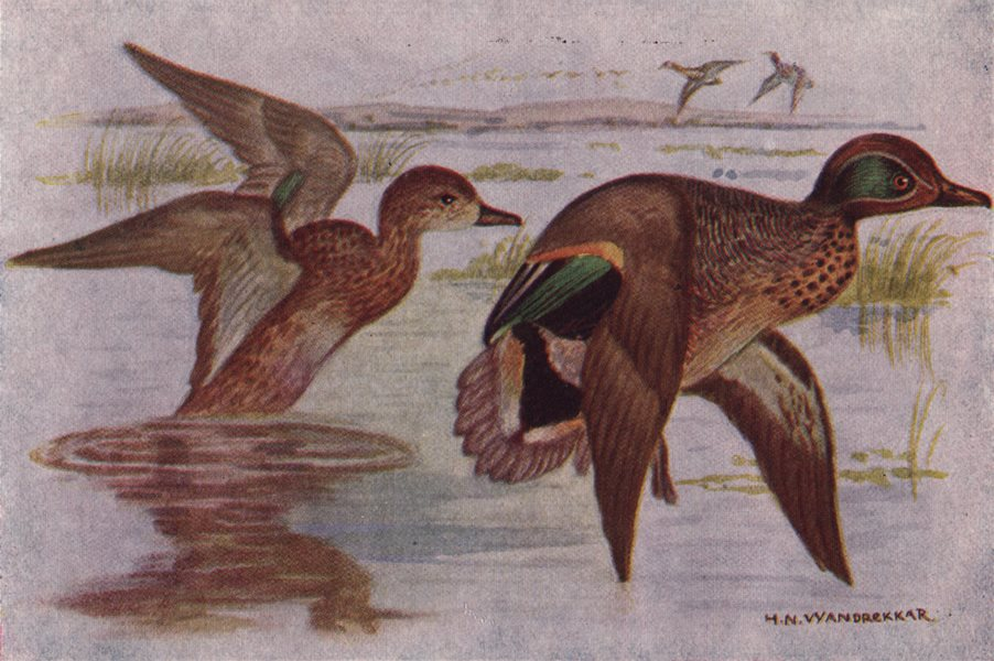 Associate Product INDIAN BIRDS. The Common Teal 1943 old vintage print picture