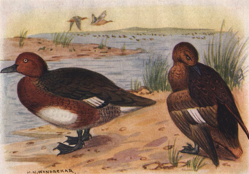 Associate Product INDIAN BIRDS. The White-Eyed Pochard 1943 old vintage print picture