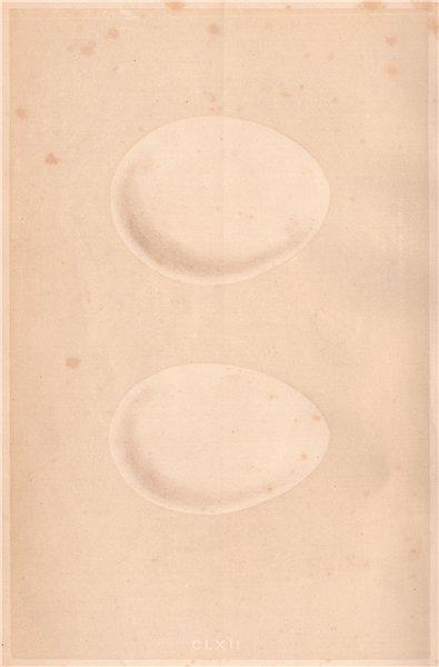 Associate Product BIRD EGGS. White Stork; Black Stork. MORRIS 1867 old antique print picture