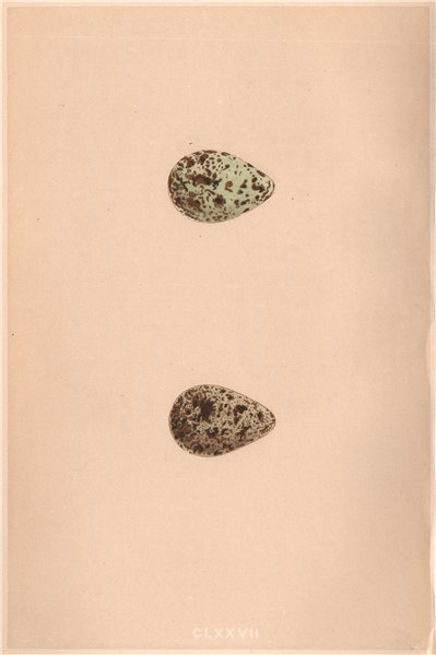 Associate Product BIRD EGGS. Temminck's Stint; Schinz's Sandpiper. MORRIS 1867 old antique print