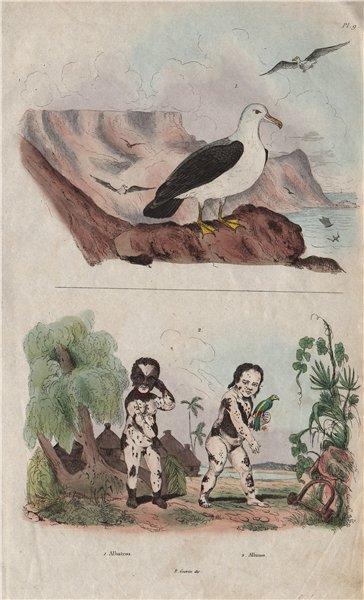 Associate Product Albatros (Albatross). Albinos. Skin pigmentation 1833 old antique print