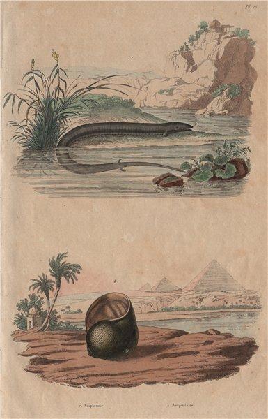 Associate Product ANIMALS. Amphiuma (Aquatic Salamander). Ampullariidae (Pomacea snail) 1833