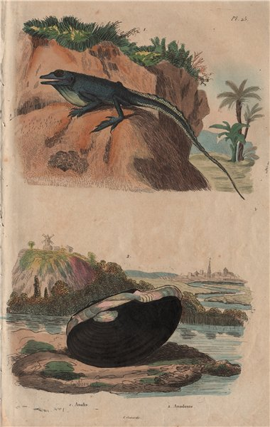 Associate Product Anolis lizard. Anodonta mussel 1833 old antique vintage print picture