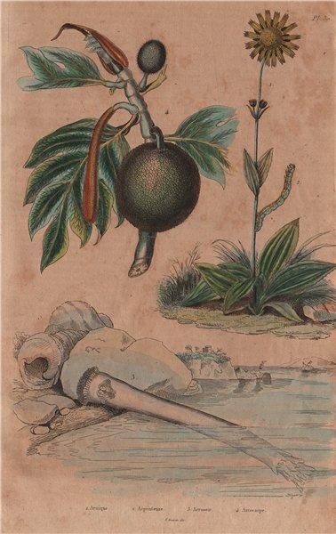 Associate Product Arnica. Arpenteuse (Inchworm). Arrosoir. Artocarpus (Breadfruit) 1833 print