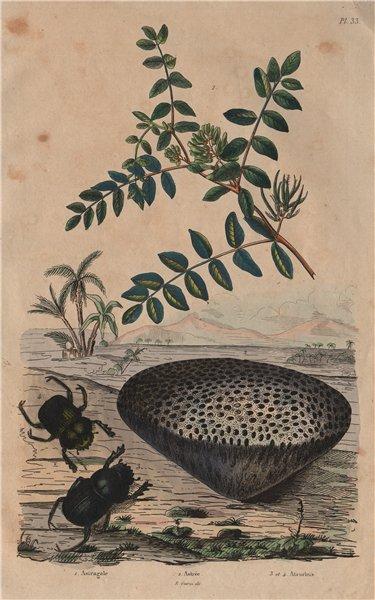 Associate Product Astragalus (milkvetch). Astrea coral. Ateuchus (scarab beetle) 1833 old print