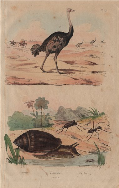 Associate Product Ellobium aurismidae (Midas Ear Shell). Ostrich. Atta (new world ant) 1833