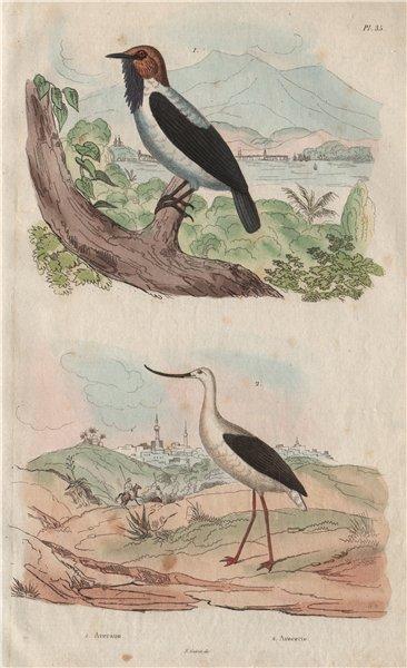 Associate Product BIRDS. Averano (Bearded Bellbird). Avocette (Avocet) 1833 old antique print