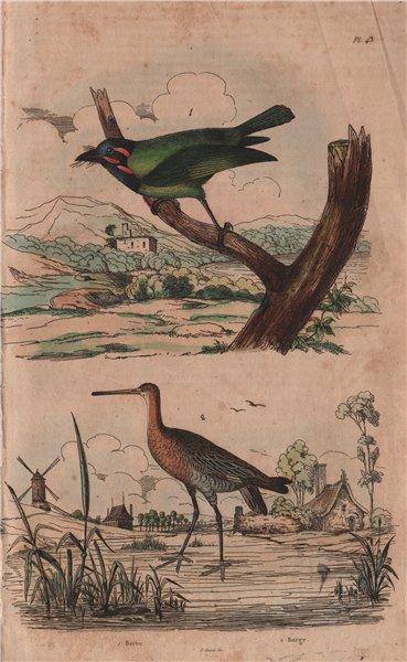 Associate Product BIRDS. Barbu (Berbet/Barbet). Barge (Black-tailed Godwit) 1833 old print