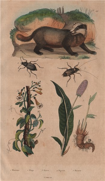 Associate Product Badger. Blaps mucronata (Churchyard beetle). Roach. Bignonia. Bistort 1833