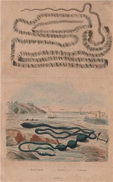 Associate Product Asian tapeworm. Bonellia viridis (green spoonworm). Borlasia (ribbon worm) 1833