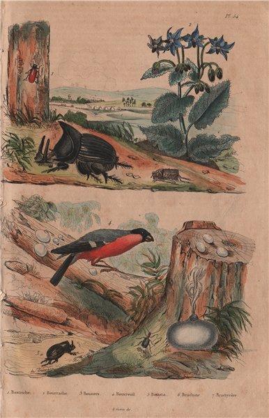 Associate Product Bostriche. Borage. Dung beetle. Bullfinch. True puffball. Bombardier beetle 1833