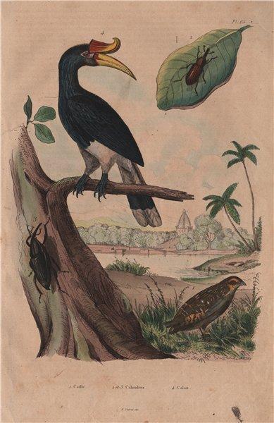 Associate Product Caille (Quail). Calandre (Wheat Weevil). Calao (Rhinoceros Hornhill) 1833