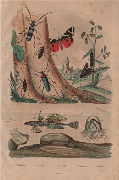 Callichroma & Callidium beetles. Callimorpha moths. Sculpin fish. Calliroé 1833