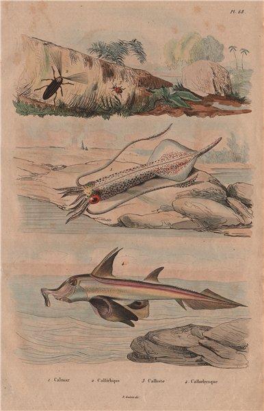 Associate Product Squid. Callirhipidae. Callistus lunatus ground beetle. Plough-nose chimaera 1833