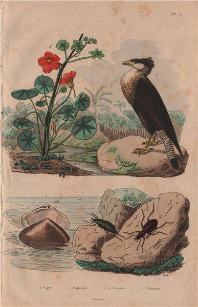 Associate Product Capsa (Asaphis deflorata). Nasturtium. Carabidae (groud beetles). Caracara 1833