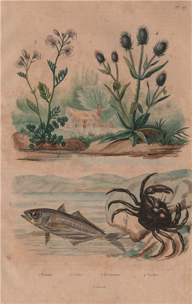 Associate Product Kingfish.Shore crab.Cardamine/cuckooflower.Dipsacus fullonum/Wild teasel 1833
