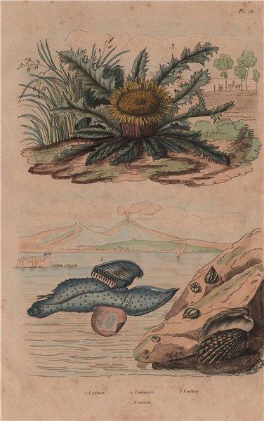 Associate Product Carditis.Carinaria/Floating sea snail. Carline Thistle Carlina acanthifolia 1833