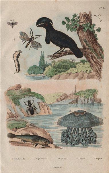 Associate Product Gurnard. Umbrellabird. Broscus cephalotes. Cepheus jellyfish. Cephus 1833