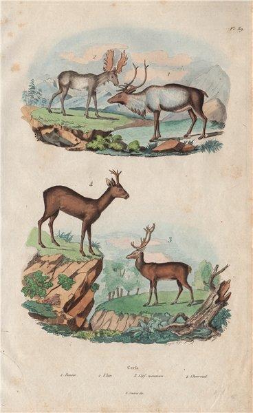 Cerfs (Deer). Renne (Reindeer). Elan (Moose). Chevreuil (Roe deer) 1833 print