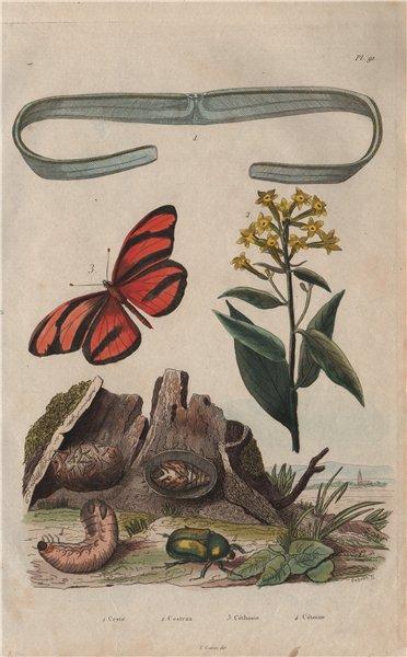 Associate Product Cestoda/flatworm.Cestrum/Jessamine.Cethosia/Lacewing butterfly.Rose chafer 1833