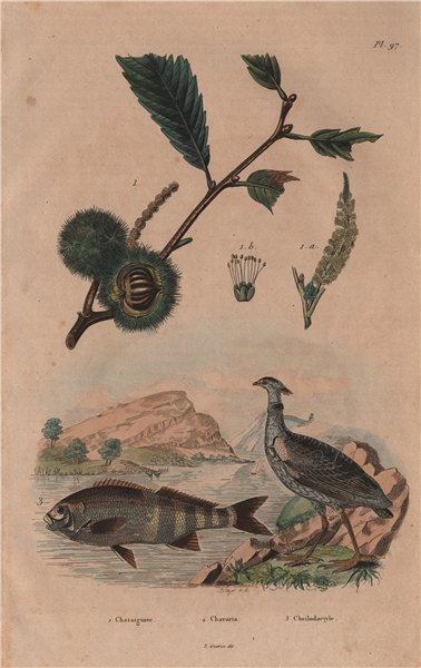Associate Product Chataignier/Chestnut tree.Chavaria/Northern screamer.Cheilodactylus/morwong 1833
