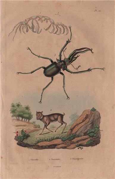 Associate Product Capralla phasma (skeleton shrimp). Mouse Deer. Chiasognathus (stag beetle) 1833