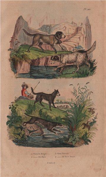Associate Product Sheep dog. St Bernard. Ffoxhound/hunting/game dog. White Newfoundland dog 1833