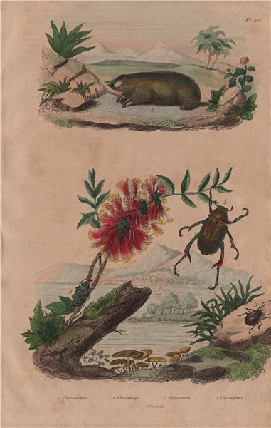 Associate Product Golden mole. Sapphire weevil. Chrysomelidae. Shining leaf chafer beetle 1833