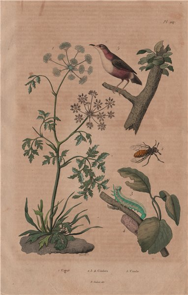 Associate Product PLANTS. Ciguë (Hemlock). Cimbex (Sawfly). Cincle (European Dipper) 1833 print
