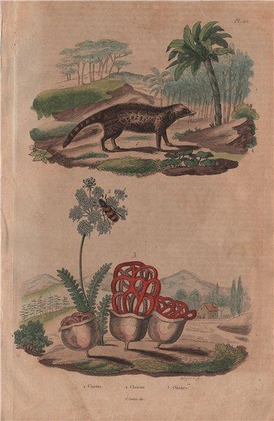 Associate Product Civette (Civet). Clairon (Trichodes apiarius). Clathrus ruber fungus 1833