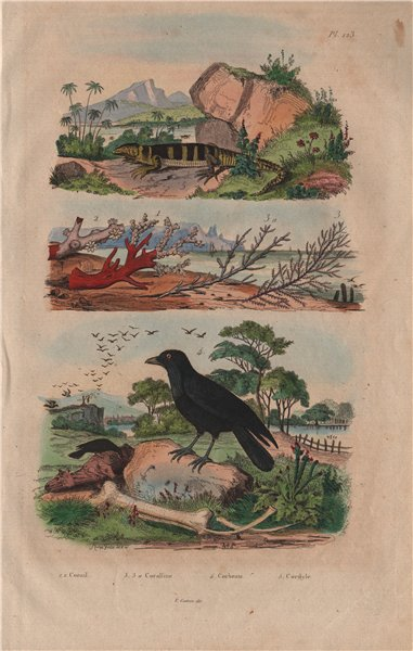 Associate Product Coral. Coralline algae. Corbeau (Raven). Cordyle (Armadillo girdled lizard) 1833