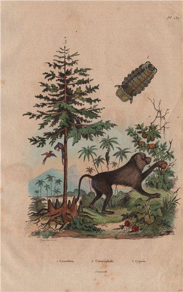 Associate Product Cymothoa (tongue-eating louse). Cynocephalus (yellow baboon). Cypress 1833