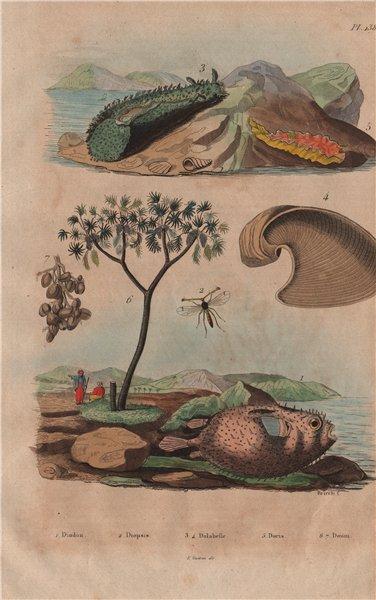 Associate Product Porcupinefish. Diopsis/ichneumon wasp. Sea hare. Doris sea slug. Doum palm 1833