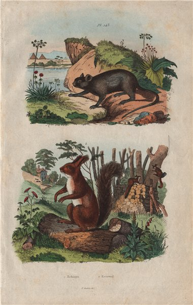 Associate Product RODENTS. Echimys (Spiny Tree-rat). Ecureuil (Squirrel) 1833 old antique print
