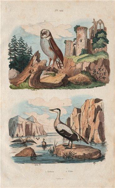 Associate Product BIRDS. Effraie (Barn Owl). Eider duck 1833 old antique vintage print picture